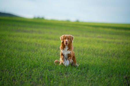 the dog runs the field along the grass. Nova Scotia Retriever. Pet on the nature.