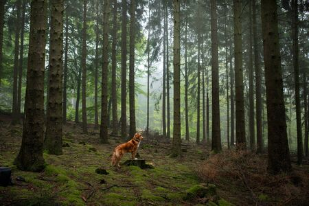 toller dog in the forest. Nova Scotia Duck Tolling Retriever in nature. Pet tracking Stock Photo