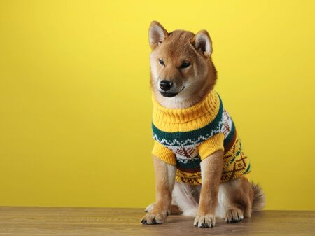 funny puppy in a sweater. Shiba Inu dogs on a in yellow background. Pet in the studio Foto de archivo