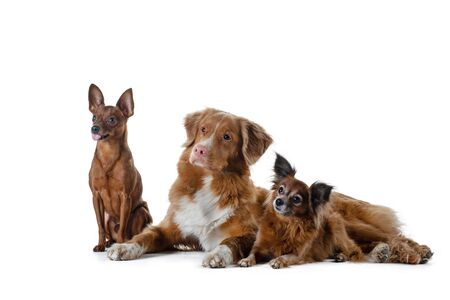 Three red dogs, big and small together. Nova Scotia Duck Tolling Retriever, Russian Toy Terrier. Pet on a white background Zdjęcie Seryjne