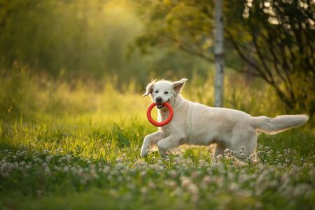 dog is playing in the park. Golden retriever runs on the grass. Pet for a walk with toy, sunset