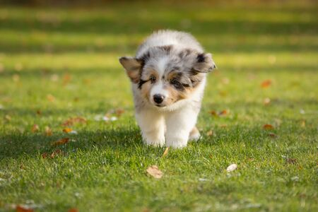 Marble Puppy australian shepherd . dog in the yard on the grass. Pet outside Stockfoto