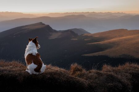 dog in the mountains. little jack russell terrier on the background of rocks at sunset. Italian landscape. Hiking with a pet