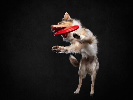 Dog jumping over the disc. Pet in the studio on a black background. Active Border Collie