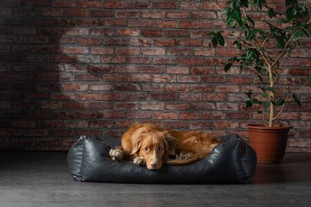 dog on a leather couch in a loft interior. Nova Scotia Duck Tolling Retriever is at home on wall background. Pet bed