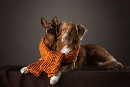 two dogs big and small in a scarf. sweet Nova Scotia Duck Tolling Retriever and Russian toy terrier
