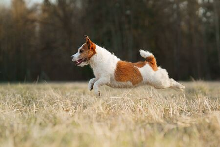the dog runs in the field. Active pet in nature. Little Jack Russell Terrier movement, motion