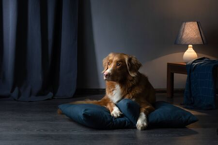 dog on a leather couch in a loft interior. Nova Scotia Duck Tolling Retriever is at home. Pet bed