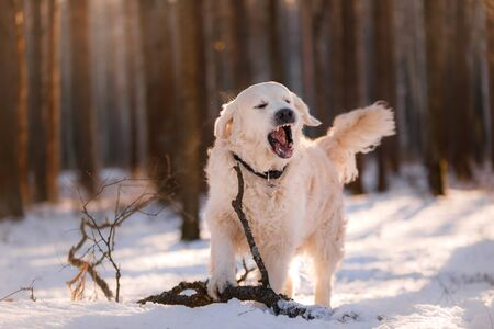 dog in the winter in the snow. Golden retriever plays in nature, outdoors