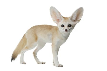 young fennec fox on a white background in studio
