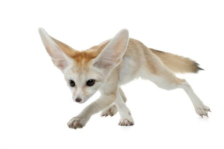 young fennec fox on a white background in studio Stock Photo
