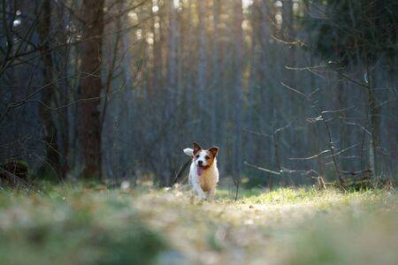 the dog runs in forest. Active pet in nature. Little Jack Russell Terrier movement, motion
