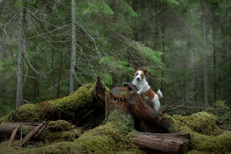 dog in the green forest. Jack Russell Terrier in nature among the trees. Walk with a pet in summer Фото со стока