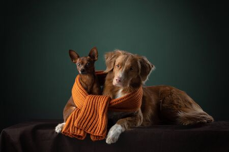 two dogs big and small in a scarf. sweet Nova Scotia Duck Tolling Retriever and Russian toy terrier Stock Photo