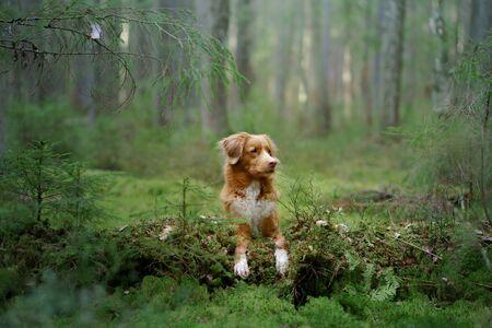dog in forest. red Nova Scotia Duck Tolling Retriever in nature, sunlight
