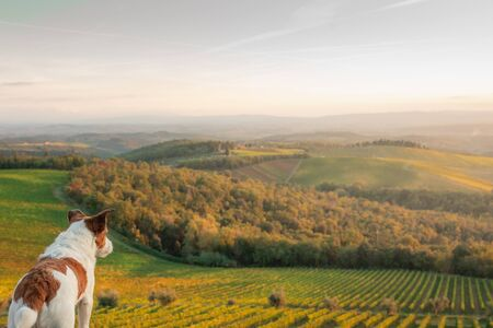travel dog. Jack Russell Terrier looks at the landscape in Tuscany. Vineyards, fields, hills