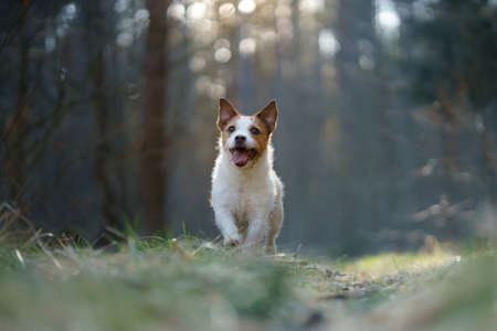 dog in the forest. Jack Russell Terrier run, jump, active Pet