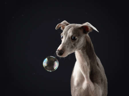 dog with soap bubbles on a black background. Funny whippet in the studio. Beautiful light