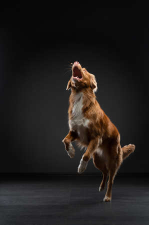 dog jumping. Funny muzzle Nova Scotia Duck Tolling Retriever. Wide angle. Pet on black