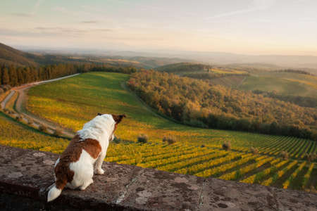travel dog. Jack Russell Terrier looks at the landscape in autumn Tuscany. Vineyards, fields, hills 写真素材