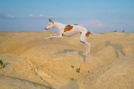dog jumps through the sand dunes. Graceful Ibizan greyhound on a sky background. Pet in nature.