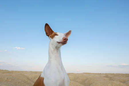 dog portrait, wide angle, funny face. Graceful Ibizan greyhound on a sky background. Pet in nature. Stock Photo