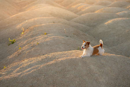 dog on a sandy quarry at sunset. Jack Russell Terrier on hills of sand. Archivio Fotografico
