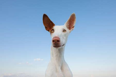 happy dog portrait, wide angle. funny Graceful Ibizan greyhound on a sky background.