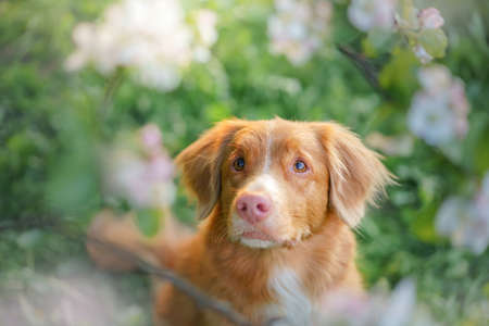 dog at the apple trees. Nova Scotia Duck Tolling Retriever in park near the flowers. Pet on nature