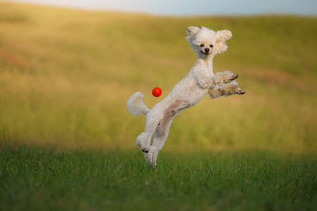 The dog runs with a toy. small white poodle plays with a ball. Active pet