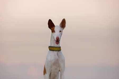 dog portrait against the sunset sky. Graceful Ibizan greyhound. Pet in nature.