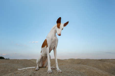 dog portrait, wide angle, funny pet. Graceful Ibizan greyhound on a sky background.