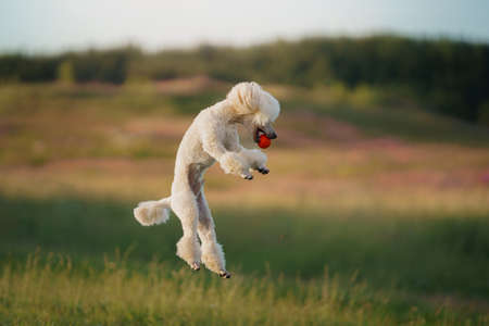 The dog runs with a toy. small white poodle playing on grass Standard-Bild