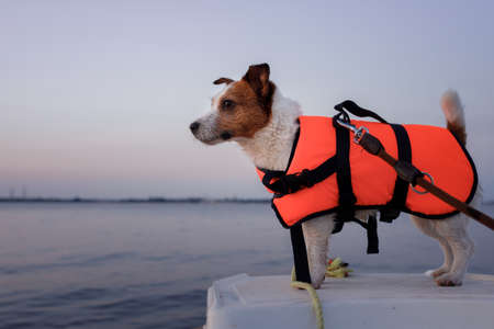 dog in a life jacket in a boat. Jack Russell Terrier sea voyage. pet in travel