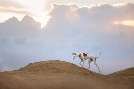 dog portrait against the sunset sky. Graceful Ibizan greyhound on a sky background. Pet in nature.