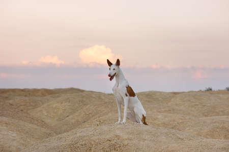 dog portrait against sky. Graceful Ibizan greyhound. Pet in nature.