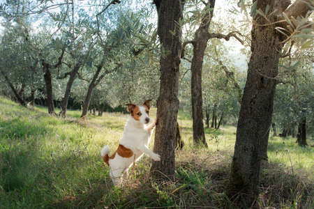 funny jack russell terrier stands by the olive tree. Dog in nature