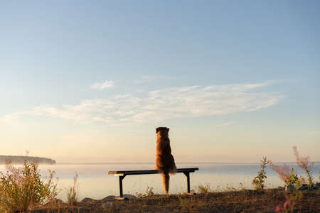 the dog sits on a bench and looks at the lake. Nova Scotia Duck Tolling Retriever in the morning outdoors. 免版税图像