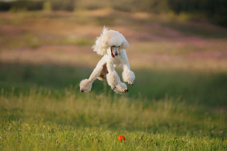 The dog runs with a toy. small white poodle playing on grass Stock Photo