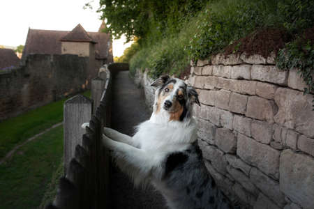 funny portrait of a dog . Marbled australian shepherd put her paws on the fence
