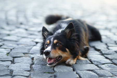 nice dog in the city. border collie lies on the pavement