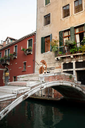 dog in venice on the bridge. Nova Scotia Duck Tolling Retriever in the old town