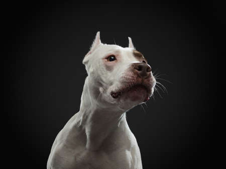 portrait of a dog on a black background. American pit bull terrier. Beautiful pet in studio