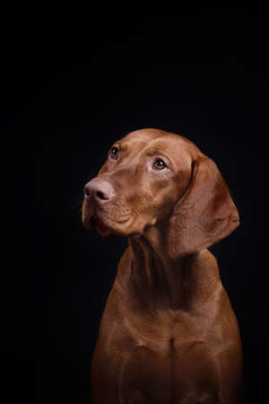 red dog on a black background. Hungarian vizsla