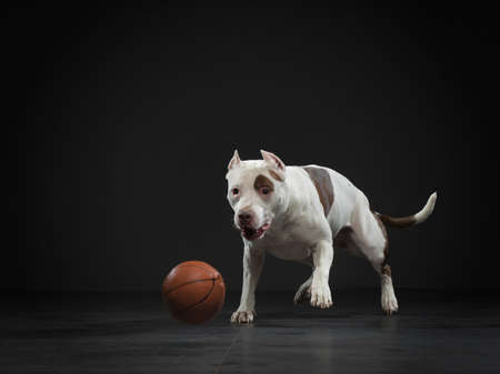 Expressive American pit bull terrier catches the ball. Active dog in the studio, action on black