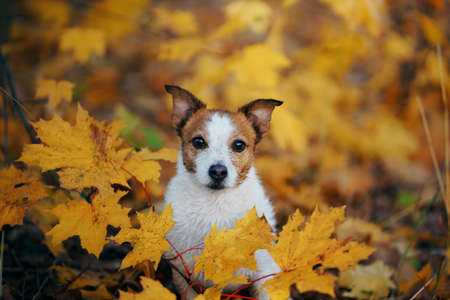 dog peeps out of yellow maple leaves. Little jack russell in autumn park.