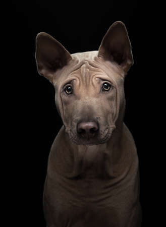 nice dog on a black background. portrait Thai ridgeback in studio