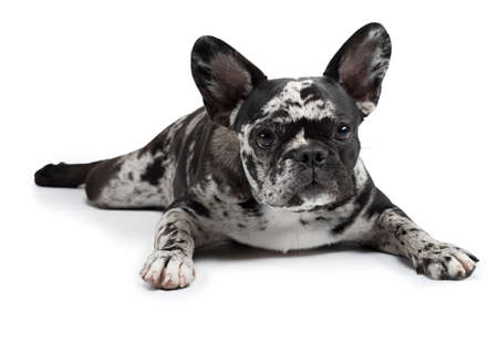 charming dog on a white background. French Bulldog of rare marble color. Pet in the studio Stockfoto