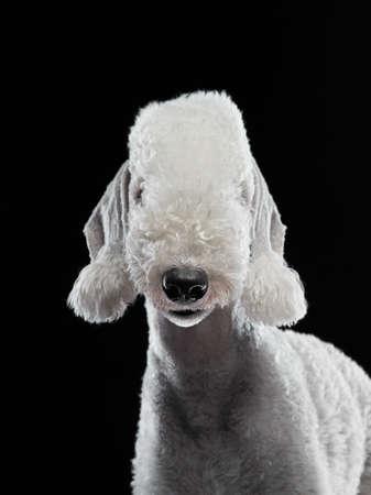 dog bedlington on a black background. close-up portrait, funny ears and nose