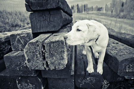 a dog of labrador breed sniffs old wood